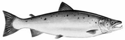 Illustration du saumon atlantique (Salmo salar)