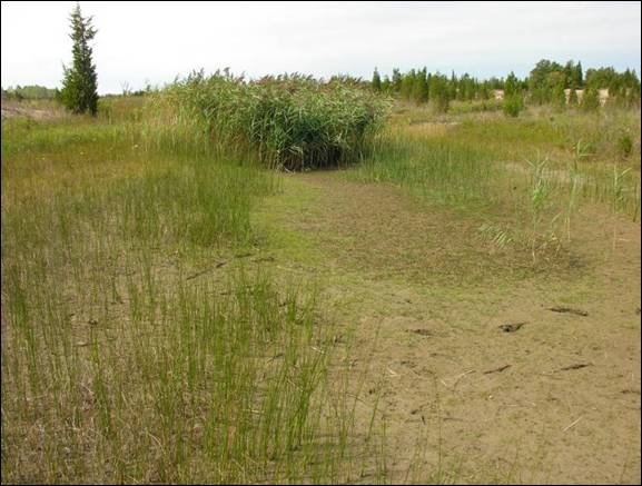Photo showing the invasion of Bent Spike-rush Eleocharis geniculata habitat by Common Reed at Long Point, Ontario.