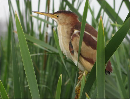 Photo: Least Bittern perched on a cattail