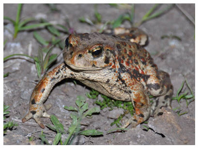 Photo of a Western Toad (see long description below).