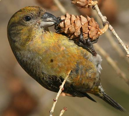 Photo: Red Crossbill (percna subspecies)