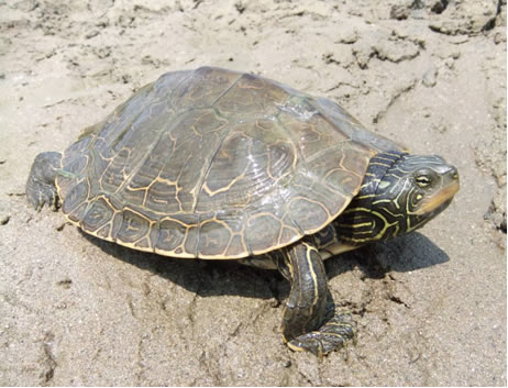 Photo of the Northern Map Turtle (see long description below).