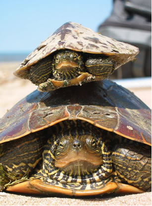 Photo of a male and a female Northern Map Turtle (see long description below).