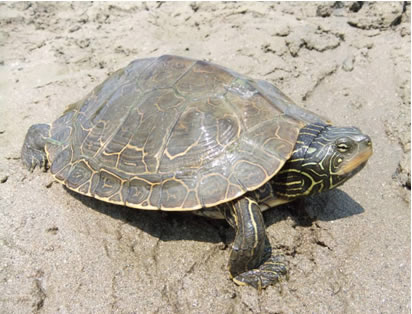 Photo of a female Northern Map Turtle (see long description below).