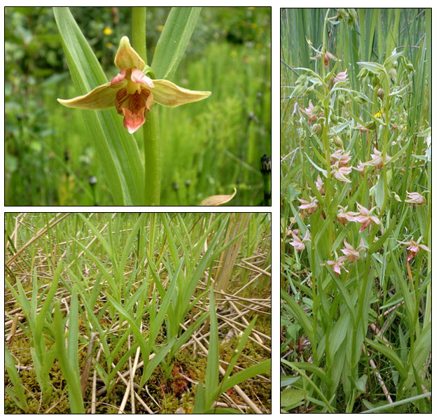 three separate images of the Giant Helleborine