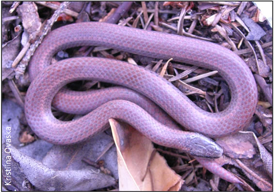 Photo of an adult Sharp-tailed Snake Contia tenuis.