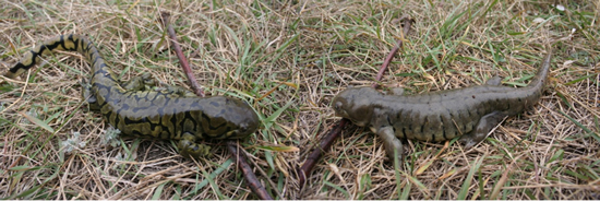 Photo of two Gray Tiger Salamanders (see long description below).