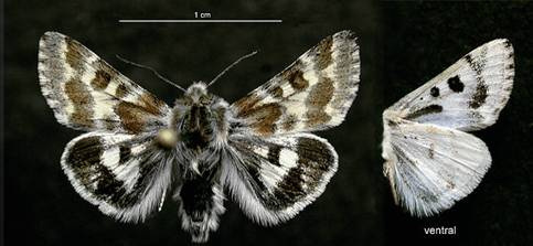 Verna's Flower Moth