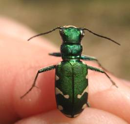 Photo of a Cicindela patruela taken at Pinery Provincial Park, Ontario. The insect is resting on a human hand.