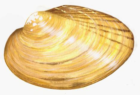 Yellow Lampmussel