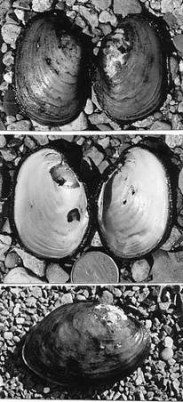 Figure 1. The yellow lampmussel, Lampsilis cariosa from Blacketts Lake, Nova Scotia.