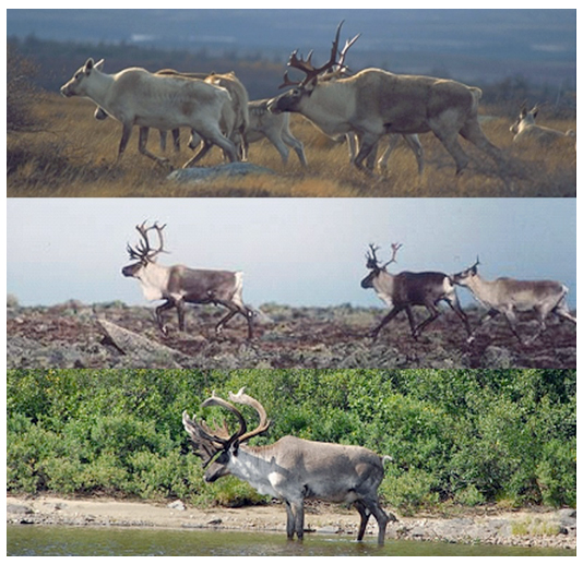 Three photos of the Caribou