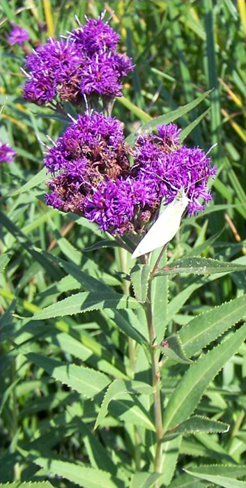 Fascicled Ironweed