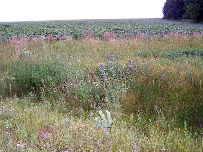 Photo of Fascicled Ironweed growing along the margins