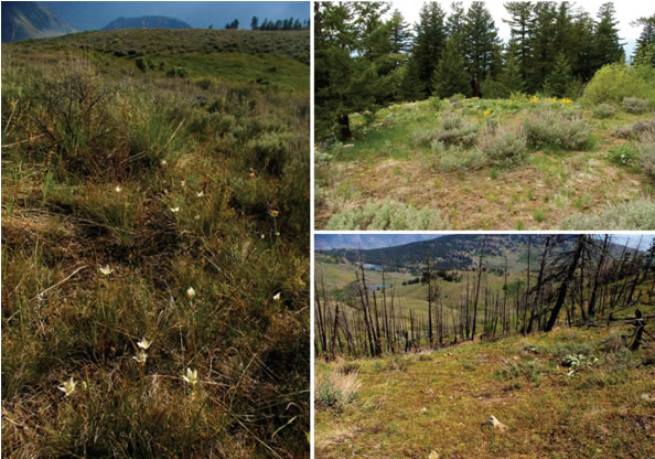 Three photos of Lyall's Mariposa Lily habitat at East Chopaka, British Columbia.