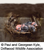 Eyes still closed and feathers beginning to grow, three nestling Chimney Swifts in a nest that is stuck to the inner wall of a brick chimney. © Paul and Georgean Kyle, Driftwood Wildlife Association