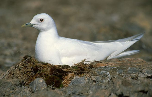 Photo of an Ivory Gull. Photograph provided by Grant Gilchrist, Environment Canada.