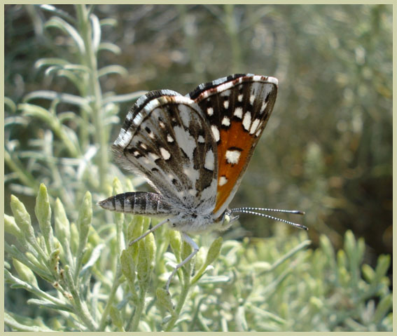 Photo of Mormon Metalmark