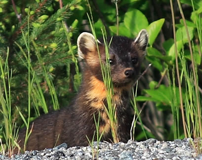 Photo: American Marten, Newfoundland population