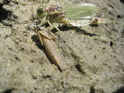 Photo of Laura's Clubtail teneral and exuvia.