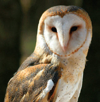 Barn Owl Ontario Government Response Statement