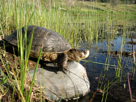 Western  Pond Turtle showing characteristic low-domed carapace and yellow undersides.
