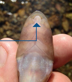 view of the tri-lobed lower lip of a Cutlip Minnow