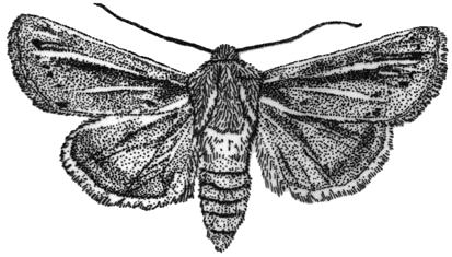Sand-verbena Moth, Copablepharon fuscum, designated Endangered by COSEWIC in November 2003. Line drawing by Nick Page, Vancouver, British Columbia.