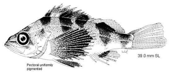 Line drawing of an adult Darkblotched Rockfish.