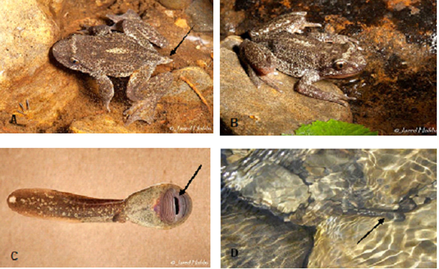 Photographs of Rocky Mountain Tailed Frog (see long description below)