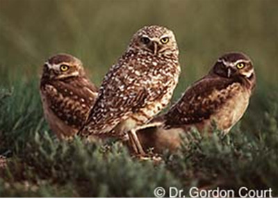 Burrowing Owl © Dr. Gordon Court
