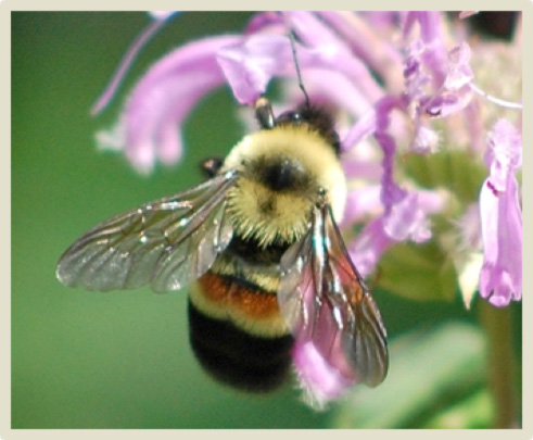 Photo of Rusty-patched Bumble Bee