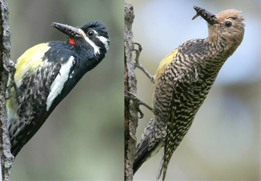 Cover illustration: Male (left) and female (right) Williamson's Sapsuckers at a nest hole in a Trembling Aspen, Johnstone Creek, British Columbia, June 2005. Photos by Les W. Gyug.