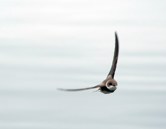 Photo of the Bank Swallow in flight.
