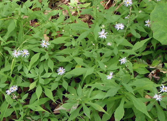 Photo of a patch of Crooked-stem Aster