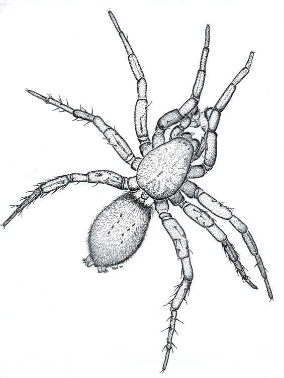 Illustration of a male Georgia Basin Bog Spider, Gnaphosa Snohomish, dorsal view