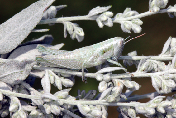 Photo of a Greenish-white Grasshopper, lateral view, on its foodplant, Artemisia ludoviciana.