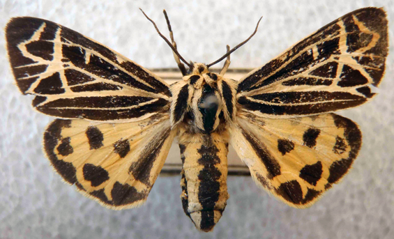 Photo of Island Tiger Moth.