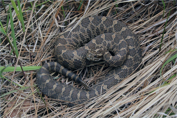 Photo of the Massasauga.