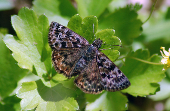 Photo of the Mottled Duskywing.