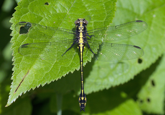 Photo of the Riverine Clubtail