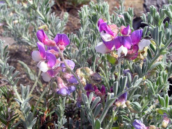 Photo of the Silky Beach Pea
