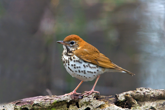 Photo of the Wood Thrush