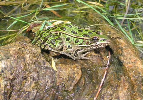 Photo of Northern Leopard Frog, Western Boreal/Prairie Populations.