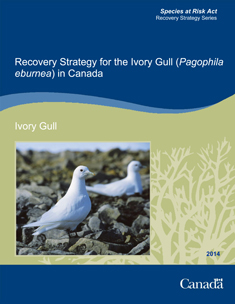 Recovery Strategy for the Ivory Gull cover photo