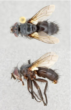 Photo of a male Dune Tachinid Fly Germaria angustata from Carcross, Yukon, showing dorsal (top image) and lateral (bottom image) views.