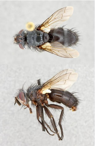 Photo of a male Dune Tachinid Fly from  Carcross, Yukon, showing dorsal (top image) and lateral (bottom image) views.