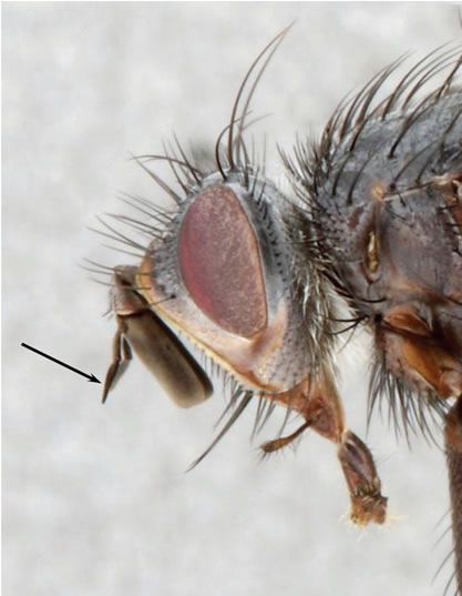Close-up photo of the head of the male Dune Tachinid Fly depicted  in Figure 1, showing the elbowed arista of the antenna.