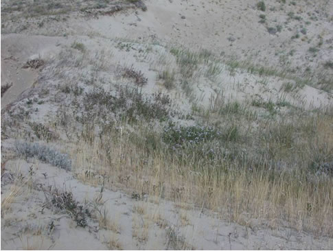 Photo of typical Dune Tachinid Fly habitat at the Bennett Lake beach dunes.