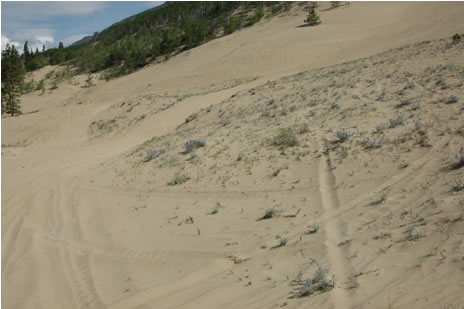 Photo of Dune Tachinid Fly  habitat at the Carcross dunes.